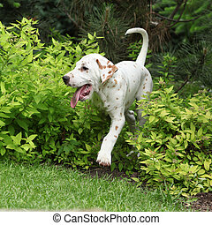 Gorgeous dalmatian puppy moving in the garden