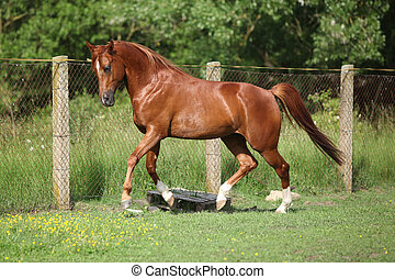 Nice chestnut arabian horse running in paddock in spring
