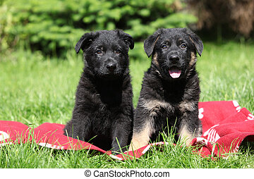 Two german shepherd puppies sitting side by side on red...