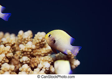 red sea dascyllus (dascyllus marginatus)