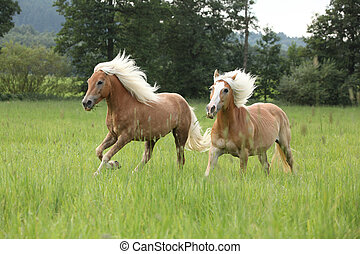 Two chestnut horses with blond mane running in nature - Two...