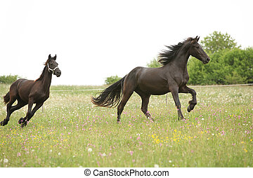 Two black friesian horses running in front of white sky on...