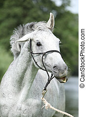 Crazy portrait of White English Thoroughbred horse in front...