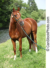 Beautiful arabian horse with nice show halter in front of...