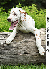Gorgeous dalmatian puppy on the stock - Gorgeous dalmatian...