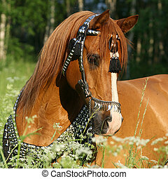 Portrait of chestnut arabian horse with perfect harness...