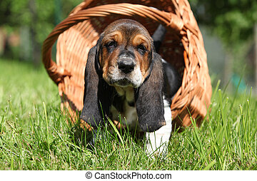 Adorable puppy of basset hound in basket looking at you -...