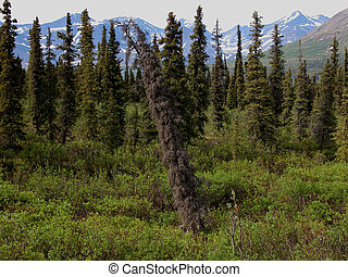 Sitka Spruce Forest Snag - An old snag provides a focal...