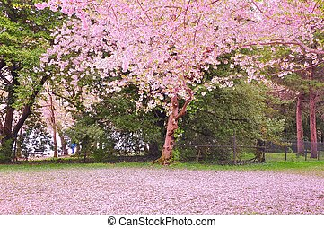 Cherry blossoms - It's peak bloom of Washington DC's Cherry...