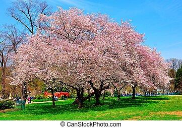 Cherry trees - It's peak bloom of Washington DC's Cherry...