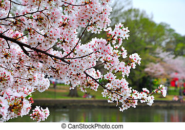 Cherry blossom - Its peak bloom of Washington DCs Cherry...