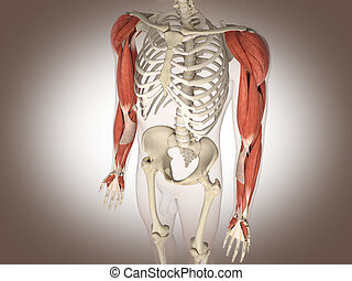 Man skeleton with internal organs. 3 D digital rendering.