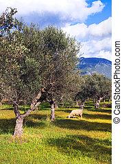 sheep, solitario, aceituna, árbol, campo
