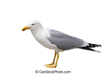 Sitting seagull isolated over white background including...