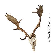 fallow deer skull isolate on white background
