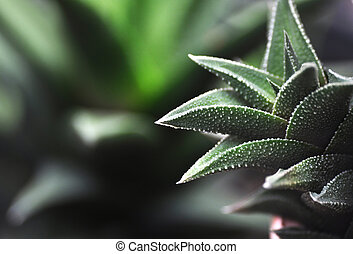 Haworthia  - Macro close detail Haworthia succulent plant