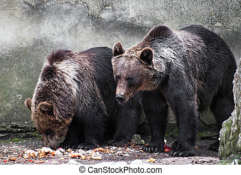 Two bear brothers Ursus arctos - Two bear brothers eating...