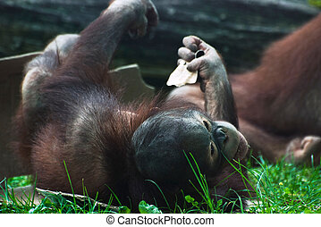 Cub of orangutan Pongo pygmaeus - Cub of orangutan lying in...