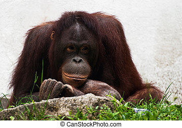 Female of orangutan relaxing Pongo pygmaeus - Female of...