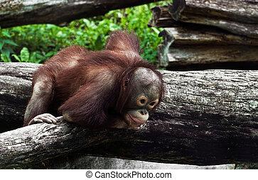 Young orangutan (Pongo pygmaeus) - Young orangutan climbing...