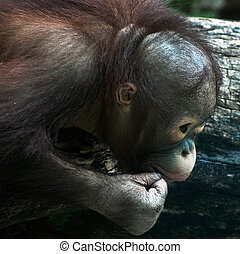Detail of young orangutan (Pongo pygmaeus) - Detail of young...