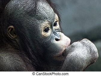 Close up of little orangutan Pongo pygmaeus - Close up of...