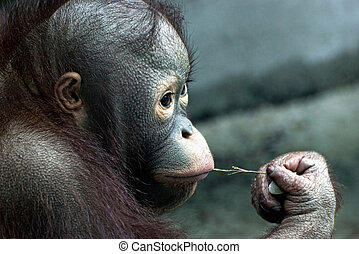 Look of little orangutan (Pongo pygmaeus) - Look of little...
