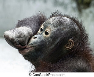 Little orangutan makes fun Pongo pygmaeus - Funny moue of...