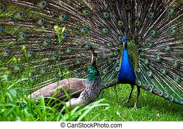 Peacock pair (Pavo cristatus)