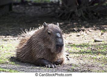 Capybara (Hydrochoerus hydrochaeris) - Portrait Capybara...