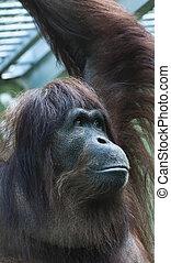 Orangutan (Pongo pygmaeus) - Portrait of a yonger orangutan...
