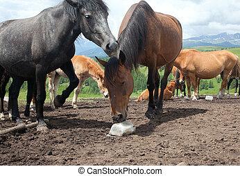 Horse licking salt