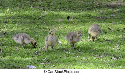 Goslings on a green meadow - A couple of goslings on a green...