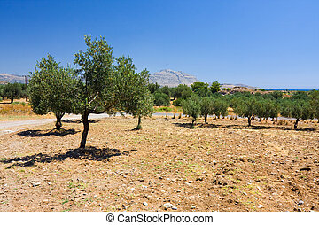 An old olive grove in Rhodes, Greece
