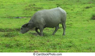 water buffalo ox walk in mud pool