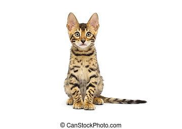 kitten  - British kitten on white background