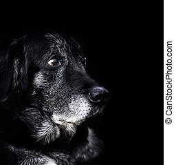 Animal - old dog - Animal - Old dog labrador retriever macro...