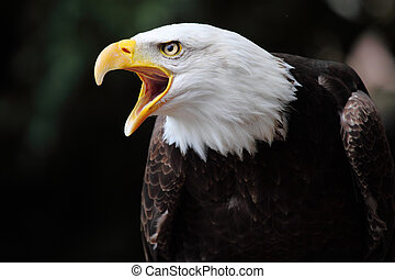 picture of a beautiful bald eagle screaming