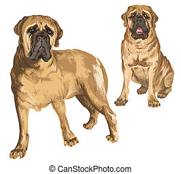 Two images of mastiff in different poses on isolated...