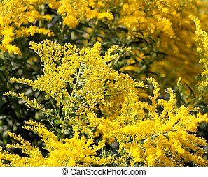 Goldenrod - Wild Goldenrod - also used as a medicinal plant