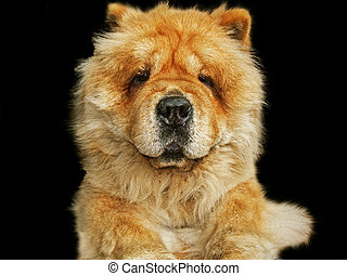Chow chow dog, close up in black background