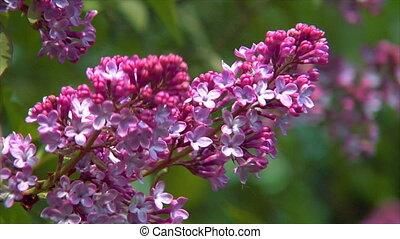 pink lilac close1 - A pink lilac close-up shot