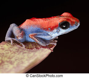 Poison dart frog, Oophaga pumilio from the little island...