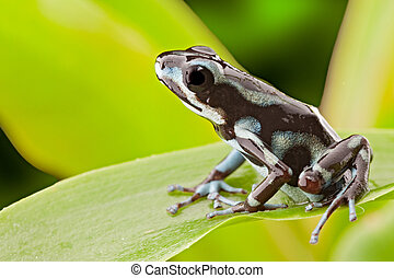 poison dart frog - frog from tropical rain forest in Panama...
