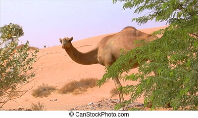 camel watch around