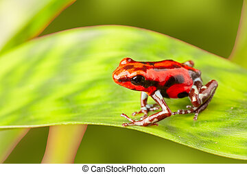 Red poison arrow frog - red poison arrow frog on leaf...