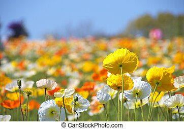 colorful iceland poppy flowers - this photo is taken in...