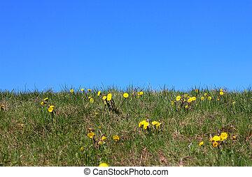 foalfoot - first spring flower foalfoot on blue sky...