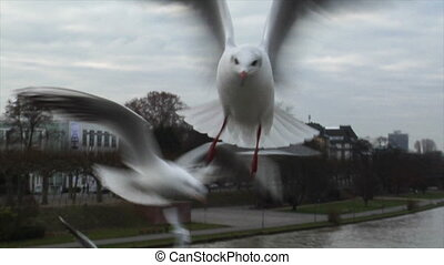 feed seagulls by hand slowmo - 10605 People feeds gulls by...