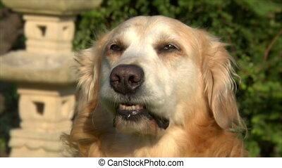 golden retriever dog drool saliva - 10616 A beautiful golden...